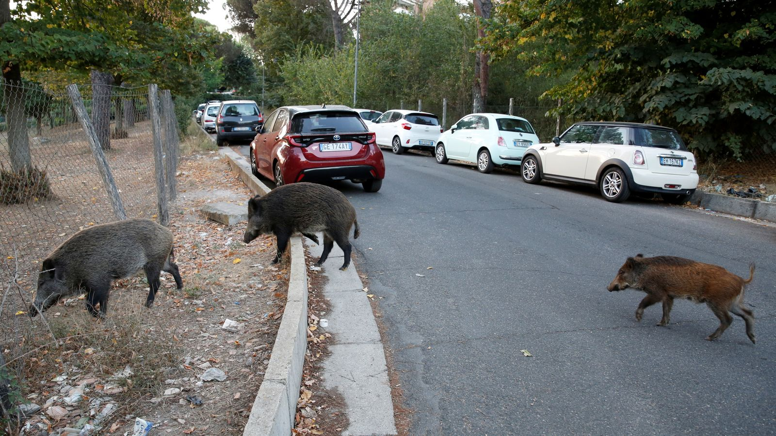 Rome: Brazen wild boar on streets of Italian capital becomes election campaign issue – as residents left 'scared'