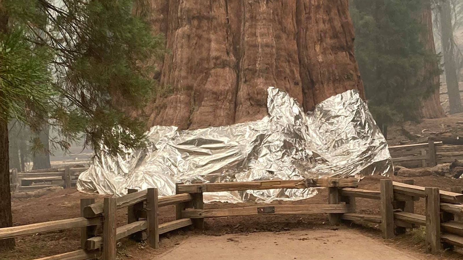 California: World's largest tree wrapped in flame-resistant blanket to save it from wildfires