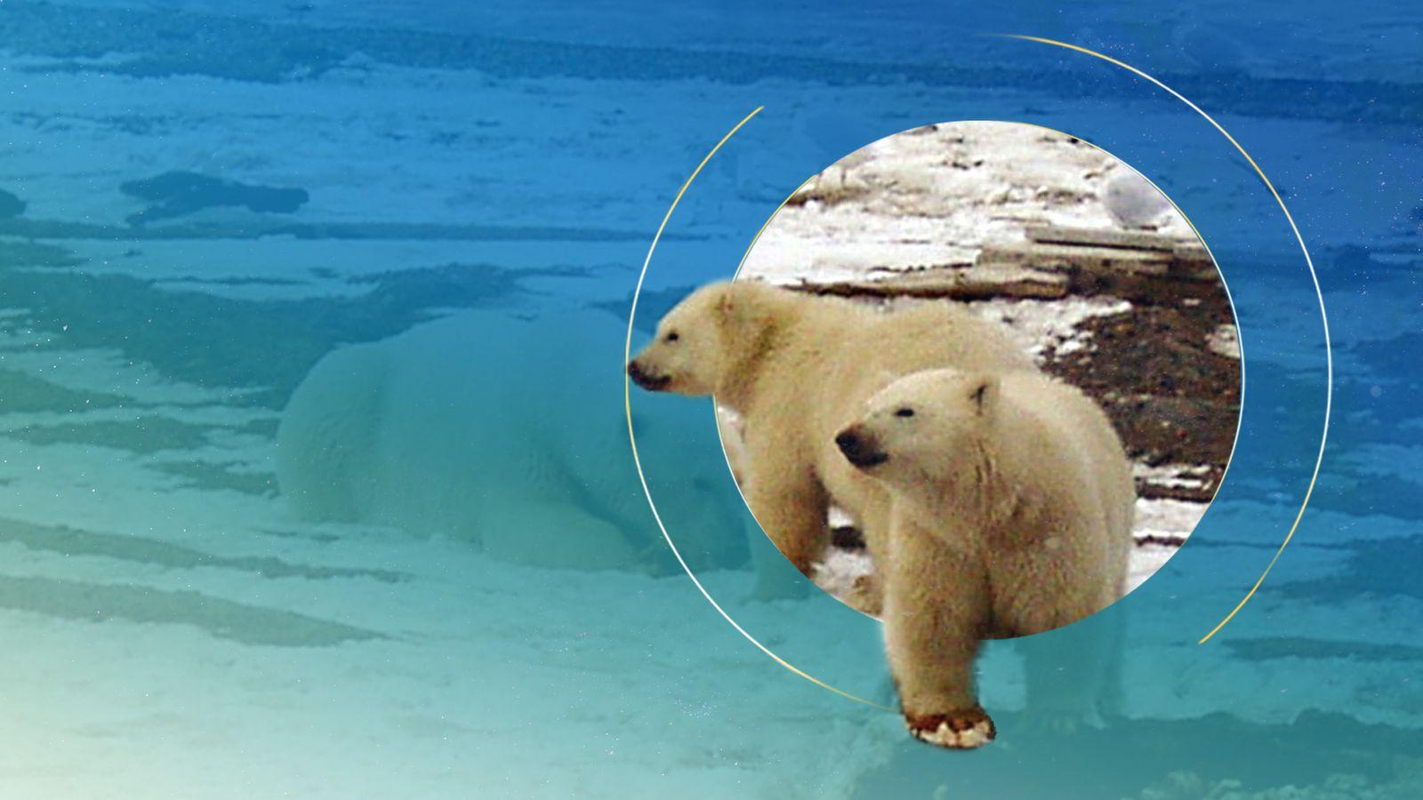 Polar bear inbreeding increasing as Arctic sea ice melts