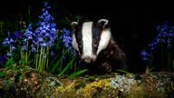 Thousands of badgers face death as part of plans to cull the population Pic: AP