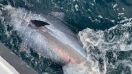 The Atlantic Bluefin Tuna has returned to UK waters after 60 years