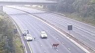 A cow was found on the M25