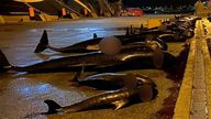 Sea Shepherd shared footage with Sky News showing the bodies of the dolphins after they had been killed. Pic: Sea Shepherd UK