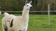 Fifi the llama. Credit: University of Reading