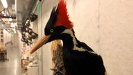 ***STUFFED BIRD/EX-BIRD*** An ivory-billed woodpecker, now extinct, is seen on a display at the California Academy of Sciences in San Francisco, PIC:AP