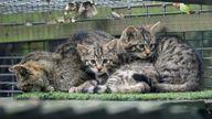 Wildcat Kittens. Pic: Wildwood Trust