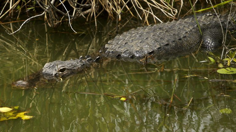 A trap was set to catch the alligator: File pic