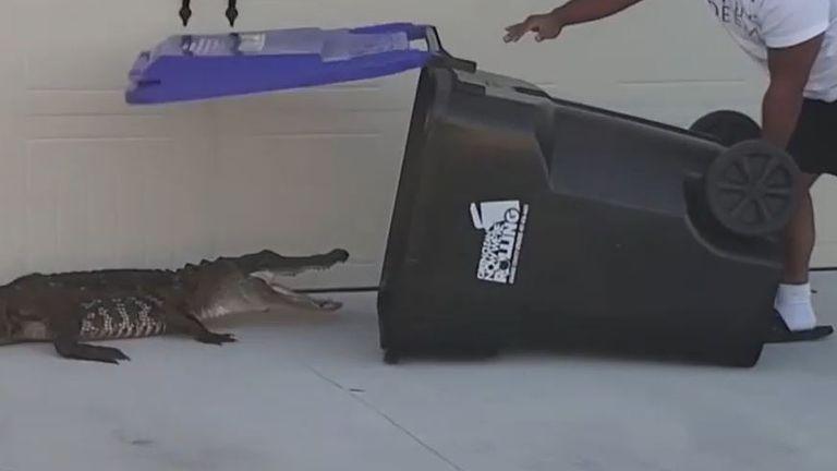 Alligator is removed from driveway single-handedly in wheelie bin