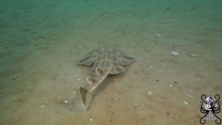 Angelsharks were once abundant but are now critically endangered. Pic: Jake Davies