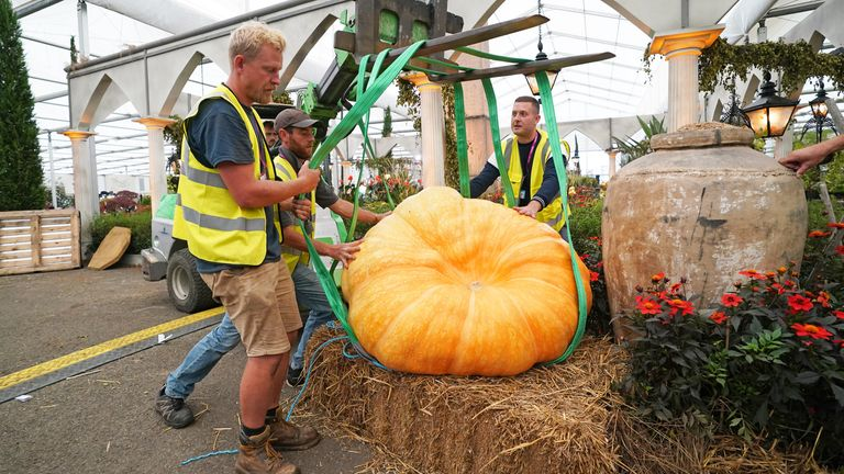 An 800lb pumpkin grown by Ben White, is lifted into place ahead of the RHS Chelsea Flower Show,