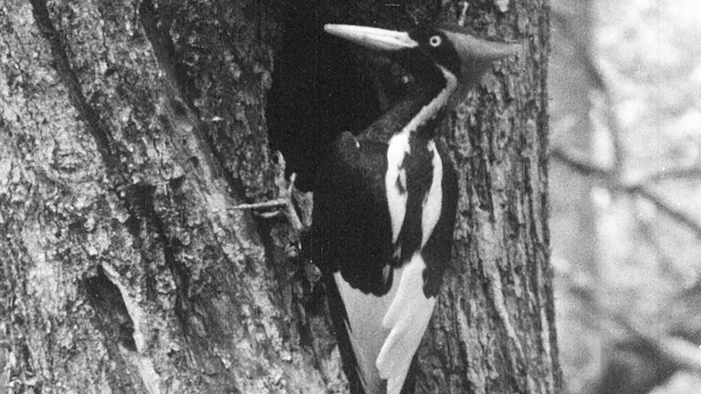 In this undated still photo taken from video and provided by the Cornell Lab of Ornithology, an ivory-billed woodpecker is seen. (Cornell Lab of Ornithology via AP) PIC:AP