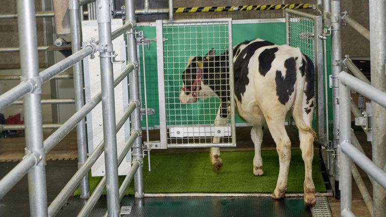 Foto del folleto sin fecha emitida por el Leibnitz-Institut fur Nutztierbiologie Dummerstorf (FBN) de una vaca entrando en una letrina.  Los investigadores tienen vacas adiestradas para ir al baño en un momento para reducir las emisiones de amoníaco causadas por sus desechos en el futuro.  Fecha de emisión: lunes 13 de septiembre de 2021