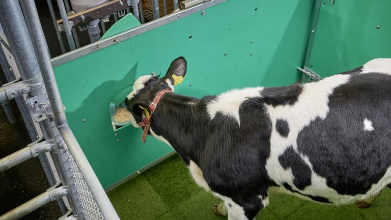 Foto del folleto sin fecha emitida por el Leibnitz-Institut fur Nutztierbiologie Dummerstorf (FBN) de una vaca que recibe una recompensa por usar una letrina.  Los investigadores tienen vacas adiestradas para ir al baño en un momento para reducir las emisiones de amoníaco causadas por sus desechos en el futuro.  Fecha de emisión: martes 25 de febrero de 2020.