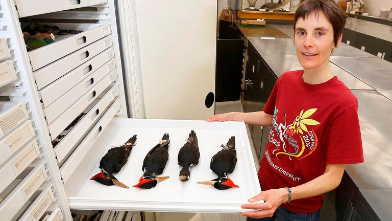 In this photo taken April 23, 2018, Angelika Nelson, curator, Borror Lab of Bioacostics, poses with a tray of ivory-billed woodpecker specimens at the Museum of Biological  Diversity, Ohio State University, in Columbus, Ohio. (Tom Dodge/The Columbus Dispatch via AP) PIC:AP