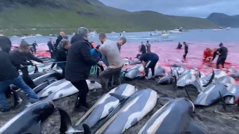 The dead animals are lined up on the beach. Credit: Sea Shepherd Faroe Islands Campaign