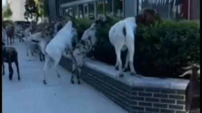 Goats in Atlanta