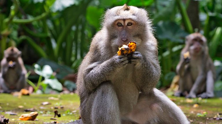 The monkeys are usually fed by tourists but the pandemic has meant they are raiding homes in search of food. Pic AP