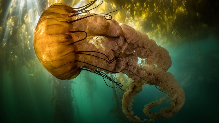 The Community Choice Award went to this shot of a sea nettle - a type of jellyfish - drifting in the shallows of Monterey Bay in California, USA. Pic: Maxwel Hohn/Ocean Photography Awards
