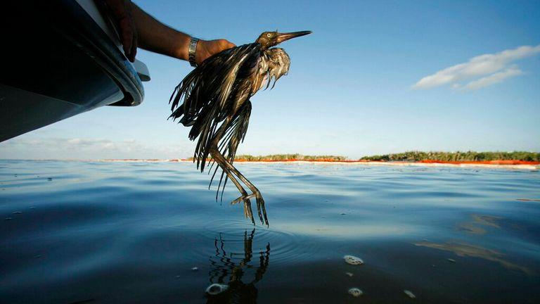 A oil-soaked bird rescued from waters in the Gulf of Mexico - as the Biden administration drafts rules to govern the killing of wild birds. Pic: AP