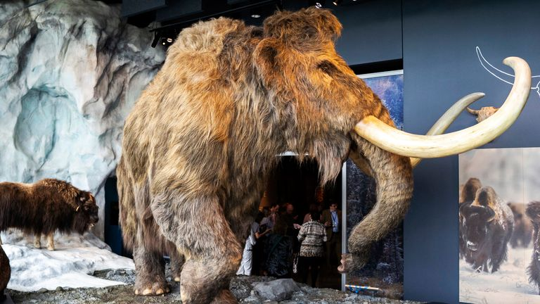 A synthetic wooly mammoth and real musk ox occupy a glacier exhibit inside the Bell Museum in Falcon Heights, Minn. on Tuesday, June 26, 2018. The mammoth's fur was made by the same company that made the costume for the Star Wars character Chewbacca. Evan Frost | MPR News