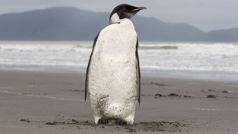 Auf diesem Foto vom 21. Juni 2011 ist ein Kaiserpinguin am Peka Peka Beach an der neuseeländischen Kapiti Coast zu sehen.  Kaiserpinguine verbringen normalerweise ihr ganzes Leben in der Antarktis und landen fast nie in der Nähe von Menschen, da sie zuletzt vor mehr als 44 Jahren in Neuseeland gesehen wurden.  Bild: AP