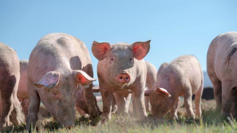 Pigs on farm. Pic: iStock