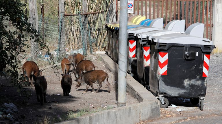 Wild boars roam street foraging for food in Rome