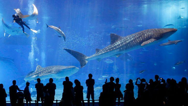 Whale sharks swim inside an aquarium in Japan. Pic: AP