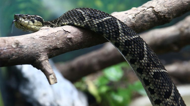 A jararacussu snake, whose venom is used in a study against the coronavirus disease (COVID-19), is seen at Butantan Institute in Sao Paulo, Brazil August 27, 2021. Picture taken August 27, 2021. REUTERS/Carla Carniel