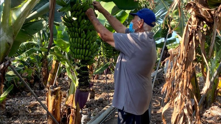 Banana farmer Ernesto de Paz Perez fears there will be 'many losses' due to the damage caused by the eruption.