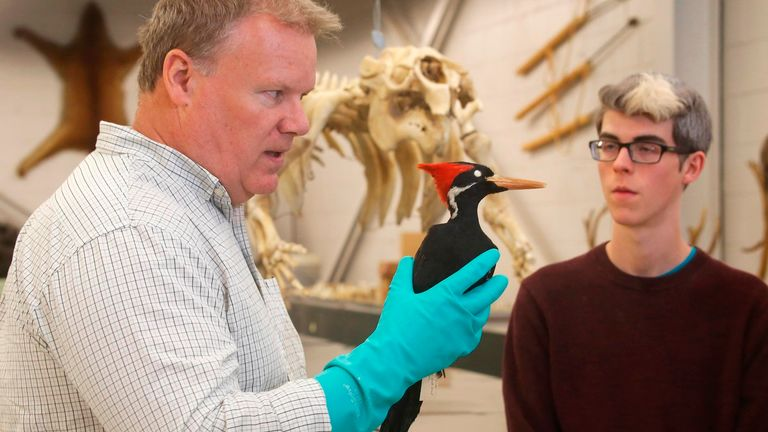 In this photo taken April 23, 2018, Jim McCormac, left, holds an ivory-billed woodpecker specimen while talking with Grant Terrell, right, collection manager for tetrapods at the Museum of Biological Diversity, Ohio State University, in Columbus, Ohio. (Tom Dodge/The Columbus Dispatch via AP) PIC:AP