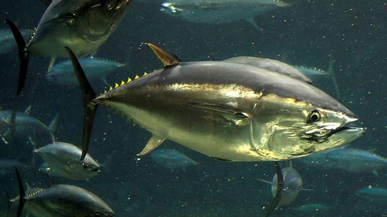 A bluefin tuna is pictured at an aquarium in Japan