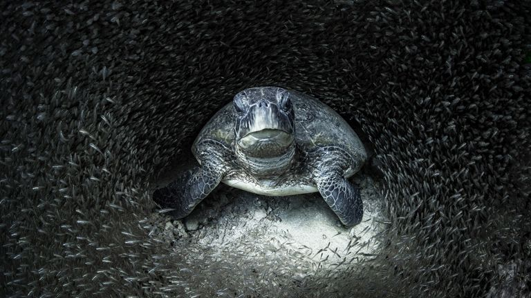The winning photo pictures a sea turtle among glass fish. Pic: Aimee Jan/Ocean Photography Awards