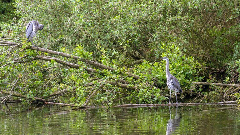 Grey heron, Fishing patiently Norfolk Broads England UK Alamy