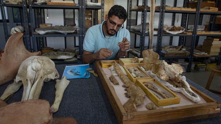 """Egyptian researcher at Mansoura University Abdullah Gohar, shows the fossil of a 43 million-year-old four-legged prehistoric whale known as the """"Phiomicetus Anubis,"""" in an evolution of whales from land to sea, which was unearthed over a decade ago in Fayoum in the Western Desert of Egypt, PIC:AP"""