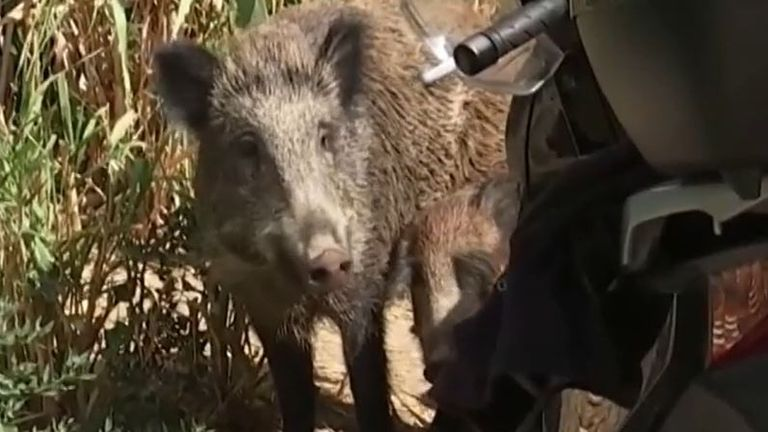 Wild boar seen in the suburbs of Rome