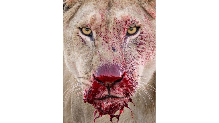 Raw moment by Lara Jackson, showing bright red blood dripping from a lion's muzzle in Tanzania's Serengeti National Park, which was highly commended in Wildlife Photographer of the Year Animal Portraits Award