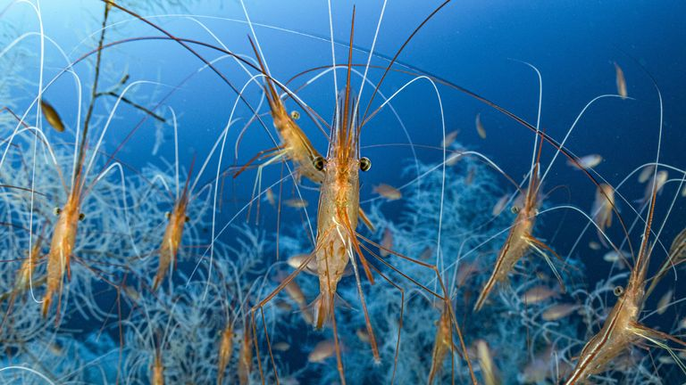 Deep feelers by Laurent Ballesta, showing narwhal shrimps in deep water off the French Mediterranean coast, among cold-water black coral, which was highly commended in Wildlife Photographer of the Year Underwater Award