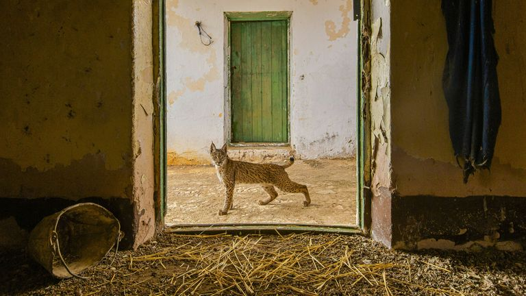 Lynx on the threshold by Sergio Marijuán, showing a young Iberian lynx pausing in the doorway of the abandoned hayloft where it was raised, on a farm in eastern Sierra Morena, Spain, which was highly commended in Wildlife Photographer of the Year Urban Wildlife Award
