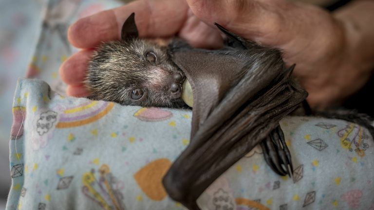 A caring hand by Douglas Gimesy, showing an orphaned grey-headed flying-fox pup on a 'mumma roll', sucking on a dummy and cradled in the hand of wildlife carer Bev in Melbourne, Australia, which was highly commended in Wildlife Photographer of the Year Photojournalism Award