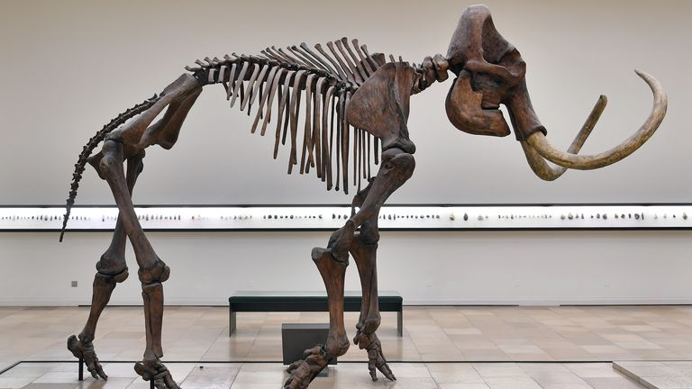The skeletton of a woolly mammoth stands in an exhibition of the State Museum of Prehistory in Halle, Germany, 7 October 2016. The skeletton is to be disassembled by texidermists and trasported to Jena, where it is going to be restored at the institute for special zoology and evolutionary biology of the Friedrich-Schiller-University. The mammoth was found in 1953 in the lignite mine Braunsbedra. Photo by: Hendrik Schmidt/picture-alliance/dpa/AP Images