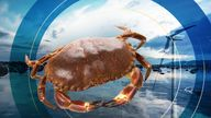 Underwater cables could change the migratory patterns of crabs