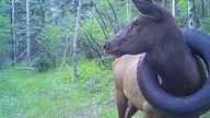 The elk was first spotted during a survey for bighorn sheep and mountains goats