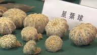 In this image made from video provided by TVB, shows endangered plants seized by the Hong Kong Customs at an anti-smuggling operation, which are displayed at the news conference in Hong Kong, Thursday, Oct. 7, 2021. Hong Kong authorities on Thursday said they have made their largest bust of a smuggling case, seizing goods including endangered species worth an estimated $26.9 million.  (TVB via AP Video) PIC:AP
