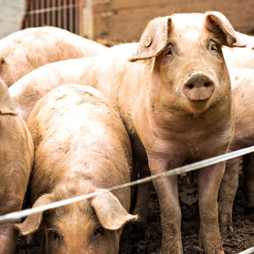 'Grown men in tears': Hundreds of pigs culled with farms overcrowded amid butcher shortage