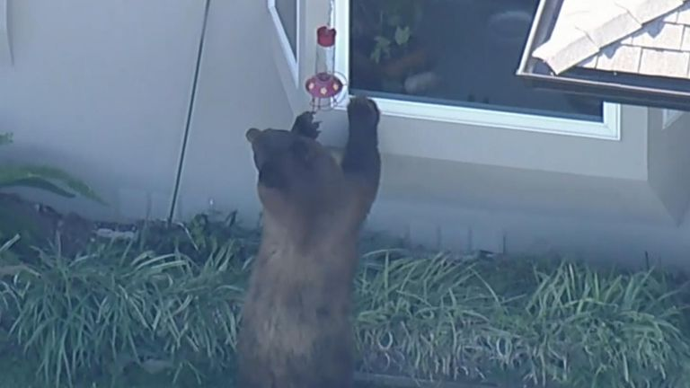A bear wanders around the streets near Los Angeles, California. Must credit ABC7 Los Angeles