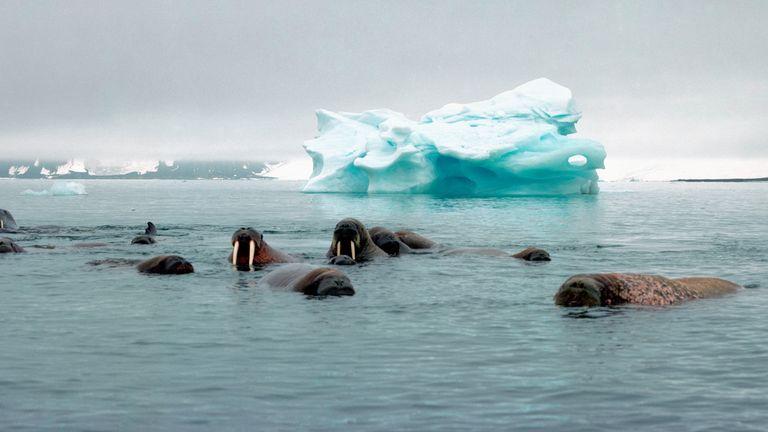 Atlantic walruses swim near an iceberg. PIc: Wim van Passel/WWF
