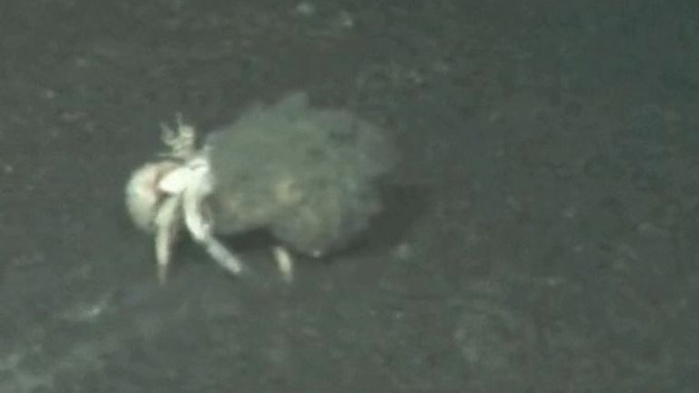 Crab seen underwater at La Palma, with volcanic ash partially covering it