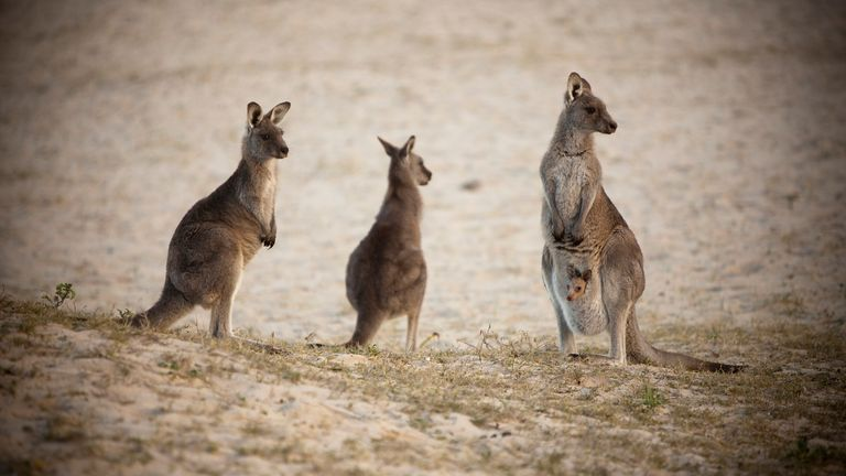 Kangaroos in New South Wales. File pic