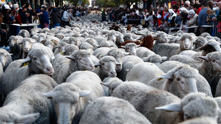 People watch a flock of sheep during the annual parade on the streets of Madrid, as shepherds demand to exercise their right to use traditional migration routes for their livestock from northern Spain to winter grazing pasture land in southern Spain, October 24, 2021. REUTERS/Javier Barbancho